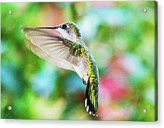 Hummingbird 06 - 9-13 Acrylic Print by Barry Jones