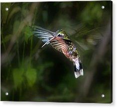 Hummingbird 1b Acrylic Print