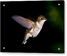 Hummingbird 3 Acrylic Print by Edward Myers