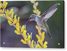 Hummingbird 6750-041818-1cr Acrylic Print
