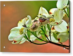 Hummingbird And Dogwood Blossoms Acrylic Print