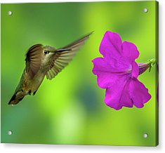 Hummingbird And Flower Acrylic Print