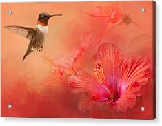 Hummingbird And Peach Hibiscus Acrylic Print