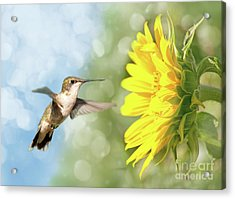 Hummingbird And Sunflower Acrylic Print
