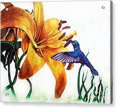 Hummingbird And Yellow Flower Acrylic Print