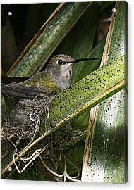 Nesting Anna's Hummingbird Acrylic Print
