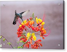 Acrylic Print featuring the photograph Hummingbird At Work by Dan McManus