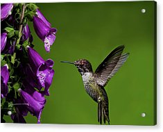 Acrylic Print featuring the photograph Hummingbird Ballet by Lara Ellis