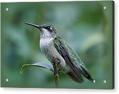 Hummingbird Close-up Acrylic Print by Sandy Keeton