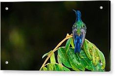 Hummingbird Acrylic Print by Daniel Precht