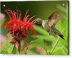 Acrylic Print featuring the photograph Hummingbird Delight by William Jobes