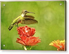 Hummingbird Drinking From Zinnia Acrylic Print