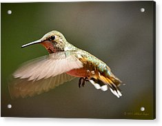 Hummingbird Facing Left Acrylic Print by Albert Seger