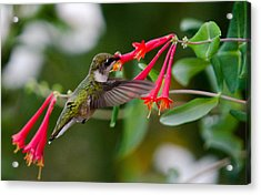 Acrylic Print featuring the photograph Hummingbird Feeding by Gary Wightman