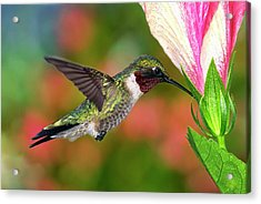 Hummingbird Feeding On Hibiscus Acrylic Print by DansPhotoArt on flickr