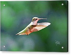 Hummingbird Flying Acrylic Print