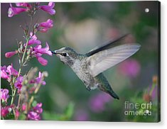 Acrylic Print featuring the photograph Hummingbird by Frank Stallone