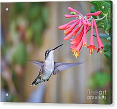 Hummingbird Happiness 2 Acrylic Print