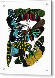Hummingbird Hawk Moths, Vintage Etomology Illustration Acrylic Print by Tina Lavoie