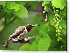 Hummingbird Hiding In Tree Acrylic Print by Christina Rollo