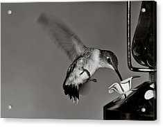 Hummingbird In Black And White Acrylic Print by Edward Myers