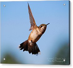 Hummingbird In Flight Acrylic Print by Dave Chafin