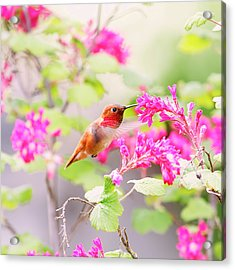 Hummingbird In Spring Acrylic Print by Peggy Collins