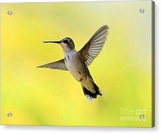 Hummingbird In Yellow Acrylic Print