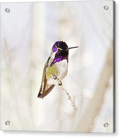 Hummingbird Larger Background Acrylic Print