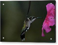 Hummingbird Acrylic Print by Mike Martin