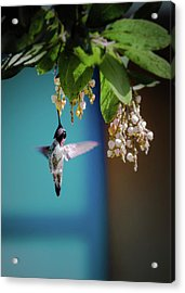 Hummingbird Moment Acrylic Print