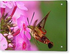 Hummingbird Moth Feeding 1 Acrylic Print
