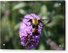 Hummingbird Moth Acrylic Print by Janet Pugh