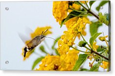 Hummingbird Moth Acrylic Print by Jason Christopher