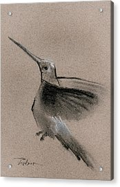 Fine Art Charcoal Rendering Of A Hummingbird In Flight. Acrylic Print by Ron Wilson