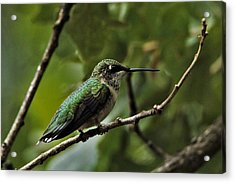 Hummingbird On Branch Acrylic Print