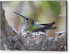 Hummingbird On Nest Acrylic Print by Paul Marto