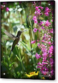 Hummingbird On Perry's Penstemon Acrylic Print by Saija  Lehtonen