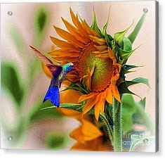 Hummingbird On Sunflower Acrylic Print by John  Kolenberg