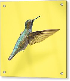 Hummingbird On Yellow 3 Acrylic Print by Robert  Suits Jr