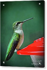 Acrylic Print featuring the photograph Hummingbird Portrait by Sue Melvin