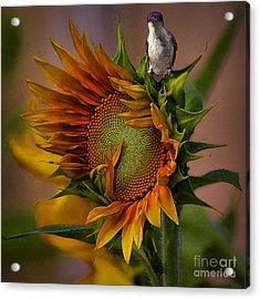 Hummingbird Sitting On Top Of The Sun Acrylic Print by John  Kolenberg