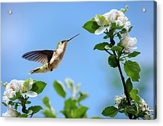 Hummingbird Springtime Acrylic Print by Christina Rollo