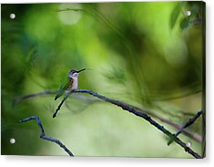 Hummingbird Sticks Out Tongue Acrylic Print