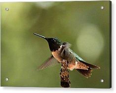 Hummingbird Take-off Acrylic Print by Sheila Brown