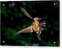 Hummingbird Taking Off Acrylic Print