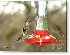 Hummingbird Trio Acrylic Print