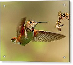 Hummingbird Vs. Bees Acrylic Print by Sheldon Bilsker