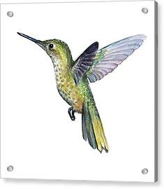 Hummingbird Watercolor Illustration Acrylic Print