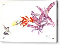 Hummingbird With Bromeliad Acrylic Print